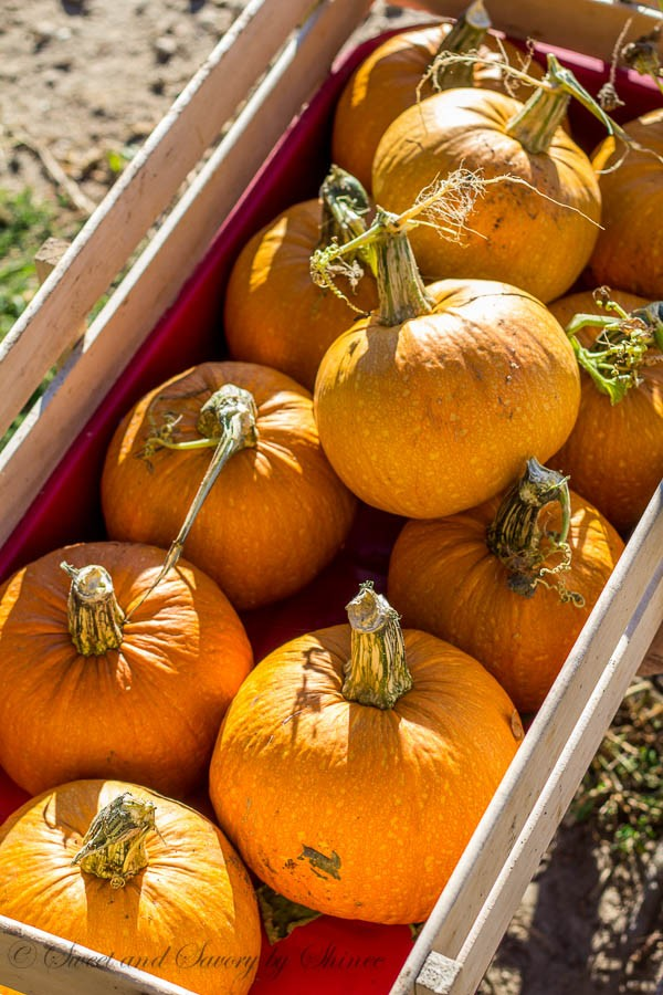 Afternoon Walk- Ranch- Sugar pumpkins...