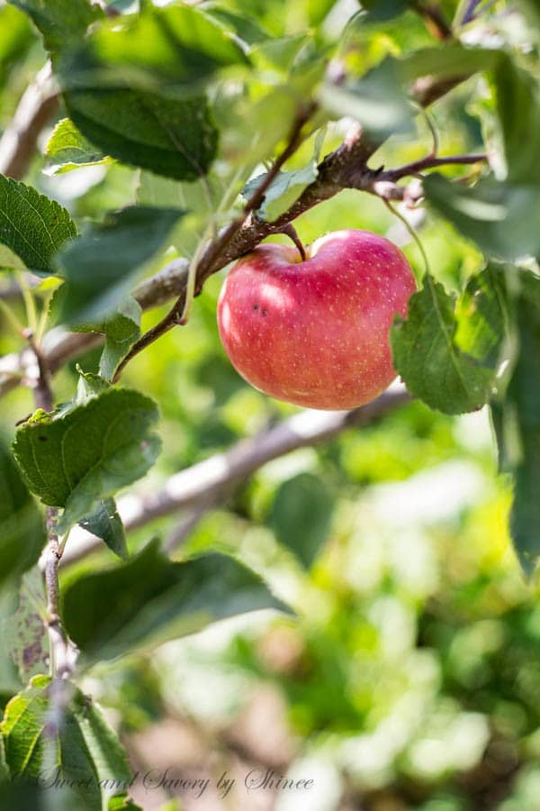 Afternoon Walk- Ranch- Apple Tree
