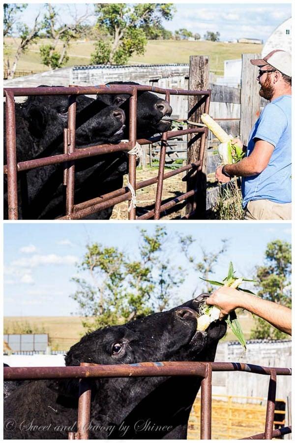 Ranch life- Feeding cattle...