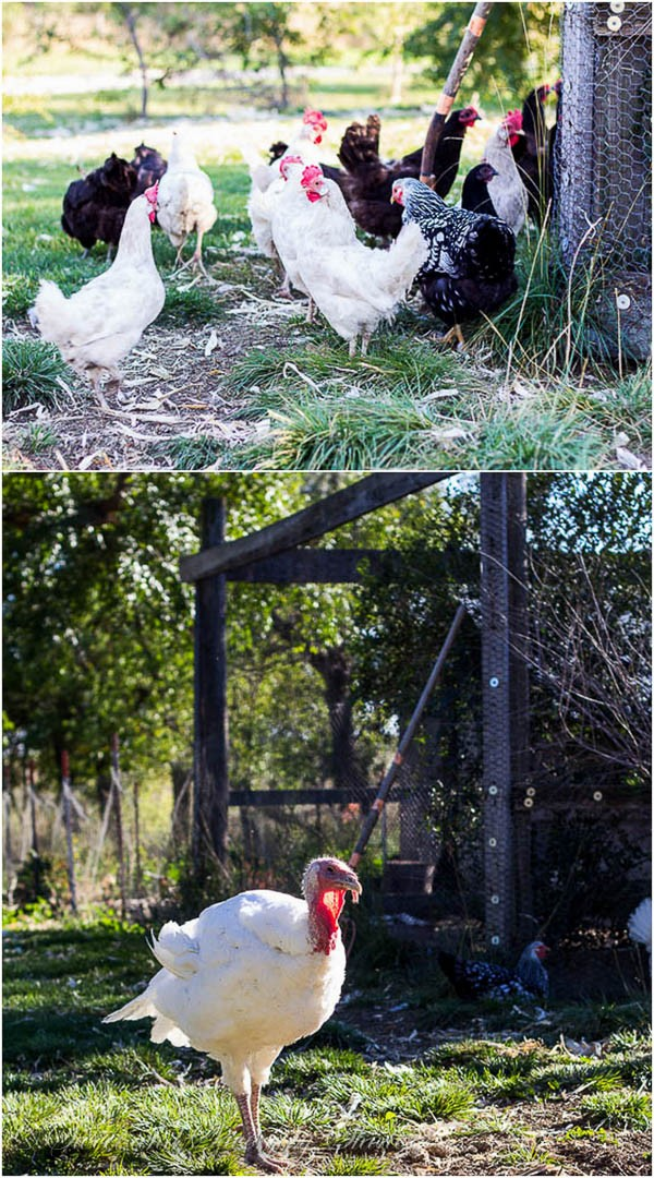 Ranch- chickens and turkeys