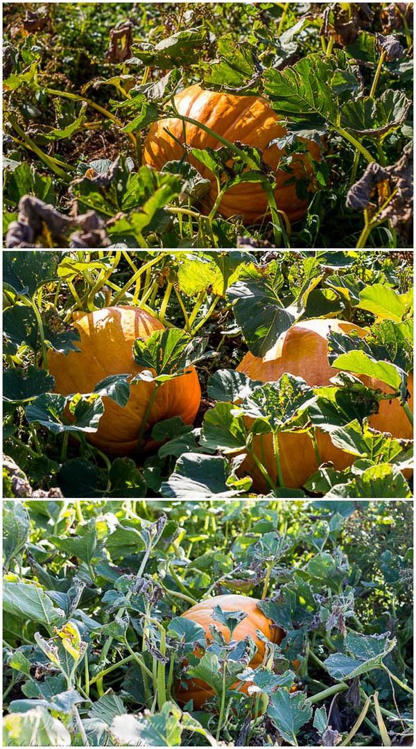 Ranch-pumpkins